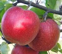 Саженцы яблони Рэд Чиф
