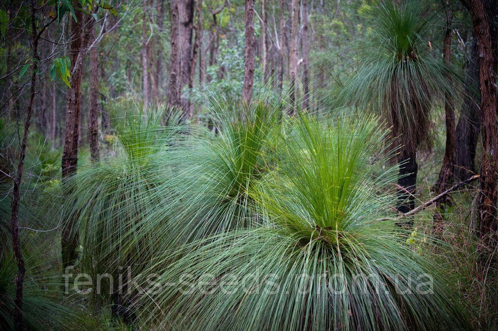 Семена Ксанторрея или Дерево-трава