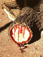 КРОВОТОЧАЩЕЕ ДЕРЕВО (Pterocarpus angolensis), фото 1