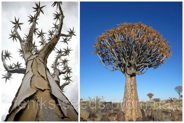Семена Колчанное Дерево или Алое Дихотомическое