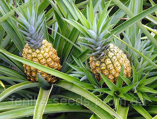 Ананас крупноплодный молодое растение