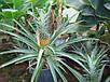 Ананас крупноплодный - молодое растение 10-15см., фото 2