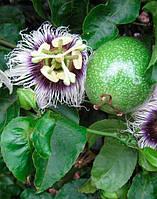 МАРАКУЙЯ - молодое растение 60-100см., фото 1