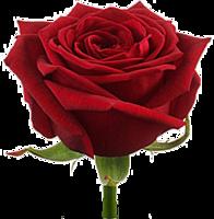 """Красная роза """"Гран При"""""""
