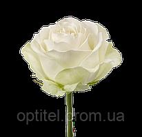 "Белая роза ""Аваланч"""