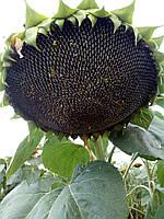 Семена подсолнечника Аурис
