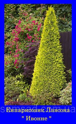 Кипарисовик лавсона Ивонне ( р9 10-15см) саженцы, фото 2