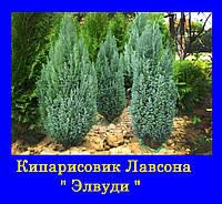 Кипарисовик лавсона ЭЛВУДИ ПИЛАР ( с1.5Л 25-30см)