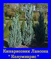 Кипарисовик лавсона КОЛУМНАРИС (р9 10-15см)