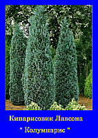 Кипарисовик лавсона КОЛУМНАРИС ( С2 30-35см)