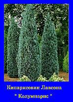 Кипарисовик лавсона Колумнарис ( р9 12-12см) саженцы, фото 3