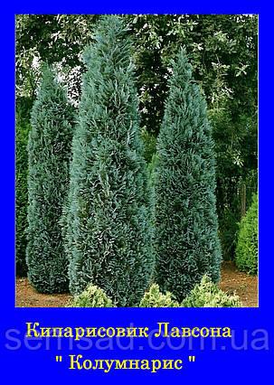 Кипарисовик лавсона Колумнарис ( С2 30-35см) саженцы, фото 2