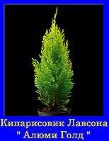 Кипарисовик лавсона АЛЮМИ ГОЛД ( С2 30-35см)