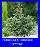 Кипарисовик горохоплодній БУЛЕВАРД ( Р9 10-15СМ)