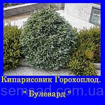 Кипарисовик горохоплодный Беби Блю ( 1.5л) саженцы, фото 2