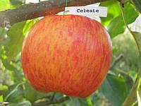 Яблоня Целеста (новинка)