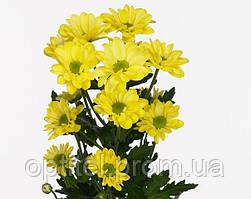 "Желтая хризантема ""Ромашка"""