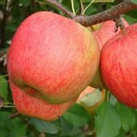 Яблоня Пирос (новинка)