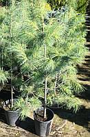 Сосны Веймутова (Pinus Strobus)
