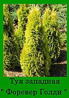 Туя ФОРЕВЕР ГОЛДИ ( С 1.5л 20-25см)