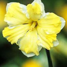 """Нарцисс Сплит-корона """"Сassata"""" наружные лепестки-кремовые, внутренние-желтые"""