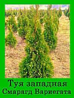 Туя западная СМАРАГД ВАРИЕГАТА ( С1.5 25-30СМ)