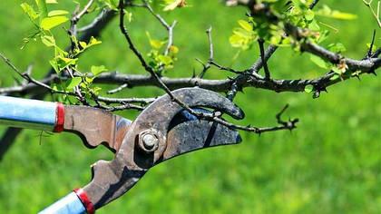 Виды обрезки плодовых деревьев и кустарников