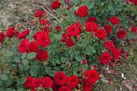 Роза почвопокровная Ред Вильвет