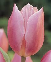 Тюльпан Триумф Early Glory (Эли Глори) 3 шт./уп., фото 1