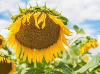 Семена подсолнечника Купава