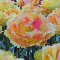 Луковичные растения Тюльпан VAYA CONDIOS  (махр+бахр)