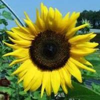 Семена подсолнечника Тансол