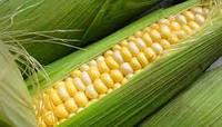 Семена кукурузы Канзас