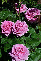 Роза без шипов - Чайно-гибридная сорт Аква Aqua (розовая) двухлетние саженцы / цветы