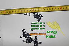 Семена подсолнуха НК Неома Syngenta, фото 3