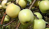 Саджанці яблунь Антонівка