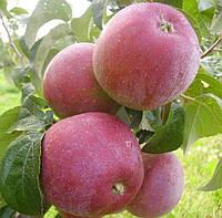 Саджанці яблунь Ліберті