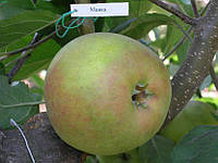 Саджанці яблунь Мавка