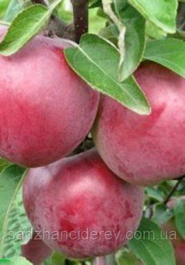 Саджанці яблунь Ред крафт