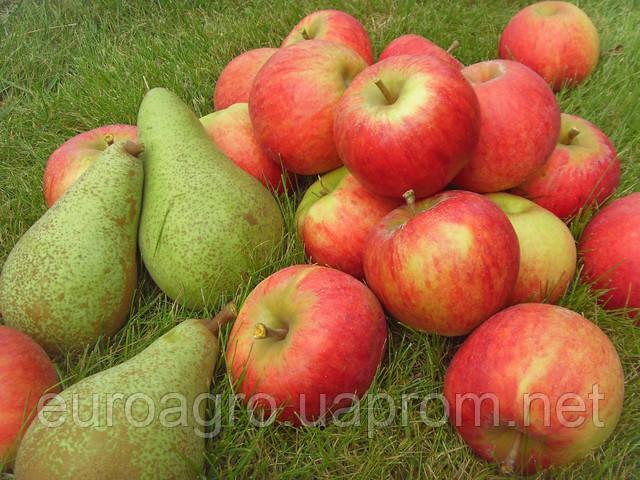 В соседней Польше яблоки и груши начали существенно прибавлять в цене