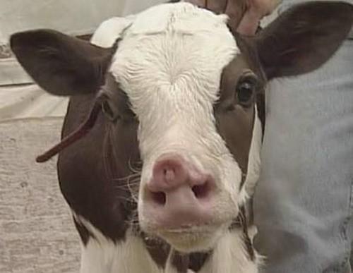 Наставление по применению препарата Ковертал в качестве гомеопатического средства для лечения животных при заболеваниях печени различной этиологии.