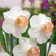 """Нарцисс Корончатый """"Pink Pride"""" белый с оранжевой короной"""