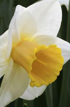 """Нарцисс Корончатый """"Salomesy"""" белый с желтой короной"""