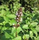 Swanson Premium Full Spectrum Peppermint Leaf лист мяты перечной 400 мг 120 капс, фото 2