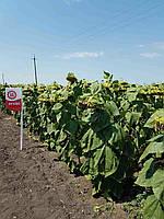 Семена подсолнечника Лимагрейн ЛГ 5582 (Limagrain)