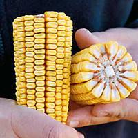 Семена кукурузы Камариллас