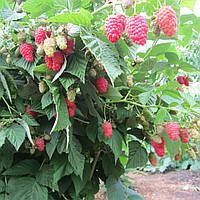 Саженцы крупноплодной малины Польша