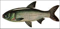 Живая рыба днепропетровск