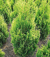 Thuja occidentalis 'Kornik' Туя західна,C2-C3,20-40см