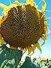 Насіння соняшнику Атілла, фото 3